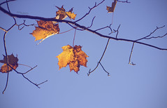 (amy20079) Tags: nikond5100 newengland maine leaves fall autumn treebranch tree branch sky blue orange maple complimentarycolors