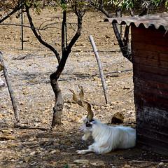 photo - Agrigento Goat (Jassy-50) Tags: photo agrigento sicily italy agrigentogoat ancientbreed goat capragirgentana spiralhorns twistedhorns animal squareformat agriculture