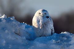 Harfang des neiges --- Snowy owl --- Búho del Ártico (Jacques Sauvé) Tags: harfang des neiges snowy owl búho del ártico aéroport de sthubert longueuil québec canada oiseau bird ave winter invierno hiver snow neige