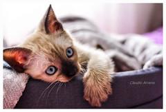 Olhando (Claudio Arriens) Tags: cat gato canoneos40d felino canonef40mmf28stm