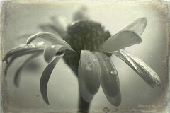 Daisy with Vintage Mood ... (MargoLuc) Tags: daisy white flower natural light winter macro backlight monochrome droplets bw petals