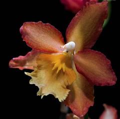 Wilsonara (ACEZandEIGHTZ) Tags: orchid flower macro closeup nikon d3200 blackbackground wilsonara oconostele romance ororojos coth coth5 sunrays5