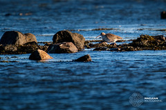 Curlew Feeding after High Tide (MacLeanPhotographic) Tags: barnsness fujifilm reflection colours water curlew