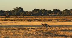 kangaroo (alextaz2) Tags: kangaroo kanga roo western australia bush wildlife wild life hop hoping