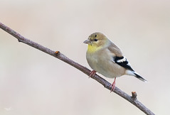 American Goldfinch (dennis_plank_nature_photography) Tags: americangoldfinch avianphotography thurstoncouny birdphotography naturephotography wa avian birds blind copspse home littlerock nature