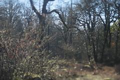 Camassia (Tony Pulokas) Tags: camassianaturalarea oregon westlinn tree oak oregonoak tilt bokeh blur thenatureconservancy autumn fall oceanspray