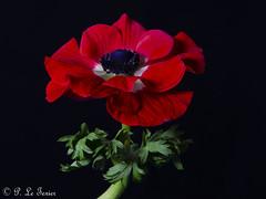 Anémone 05 (letexierpatrick) Tags: fleur flower flowers fleurs floraison nature couleur couleurs colors coeurdefleurs fondnoir nikond7000 nikon france europe anémone botanique macro noir rouge red
