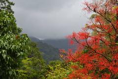 Mossman Gorge (philk_56) Tags: australia queensland rainforest mossman gorge daintree national park forest trees plants flowers