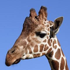 Shades of brown #2 (MJ Harbey) Tags: giraffe giraffa animalia mammal animal giraffidae giraffacamelopardalis ruminant zsl whipsnade zoo zslwhipsande whipsandezoo zslwhipsandezoo bedfordshire nikon d3300 nikond3300