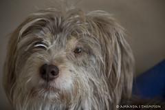 Bluffy Dog (Amanda S Thompson) Tags: dog weepal pal amigo perro browneyes amable bien bueno goodboy grey xmas christmas bsp blindspotproductions spoton 600d canon