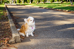 20181207-DSC01112 (PM Clark) Tags: chihuahua pure bred sydney park dog