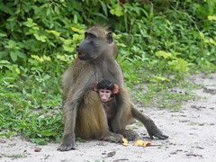 Chacma baboon (Oleg Chernyshov) Tags: chacmababoon papioursinus papioursinusgriseipes медвежийпавиан