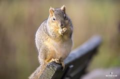 Benchwarmer (matthewolsonphotography.com) Tags: squirrel rodent squirrels foxsquirrel easternfoxsquirrel wildlife animal mammal outdoor furry