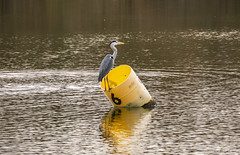 Heron on a Barrel (Ian M Bentley) Tags: heron greyheron bird ardeidaehragra harn hernser hernshaw héroncéndre priorypark barkerslane bedford bedfordshire england uk europe naturereserve beautyspot reflection reflections glorious lake pond green grey blue yellow olympus omd em1ii tamron tamron14150mm megazoom telephoto winter christmas december afternoon outdoor wings feathers mouth bill beak water bucket barrel