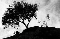 arbre perché (Philippe-Launay) Tags: contrejour nature ombres chinoises noir et blanc black bw