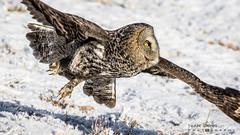 Great Grey Owl (idvisions) Tags: wildlife explore thewonderfulworldofbirds outdoor interestingness bird birds birdinflight owl owls greatgreyowl canoneos7d