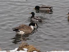 Duck, Duck, Goose (eileenmak) Tags: calgary ducks canadagoose