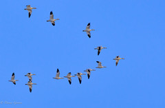 Who Picks the Leader? (dngovoni) Tags: action autumn background bird bombayhook delaware fall flight snowgeese wildlife