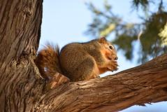Squirrel (Andrew Penney Photography) Tags: squirrel smallgame foxsquirrel sciurusniger hunting friend park