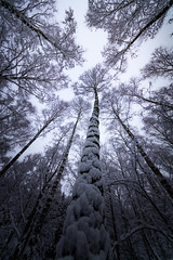reaching textures (robert.lindholm87) Tags: canon canoneosr ros mirroloess digital irix 11mm ultrawide sky upwards perspective overcast clouds lightroom trees tree nature sweden focus wallpaper