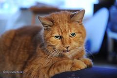 Mick (Don Pedro de Carrion de los Condes !) Tags: donpedro d700 mick omickey kater rood kat borre