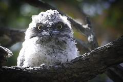 Taking it All In (trisharooni) Tags: tawnyfrogmouth bird australianbird