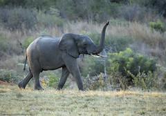 African Elephant, Loxodonta, Ivory Lodge, Hwange National Park, Zimbabwe (Jeremy Smith Photography) Tags: loxodonta loxodontaafricana elephant jeremysmithphotographycouk jeremysmithphotography jeremysmith ivorylodge ivorysafarilodge hwangenationalpark safari