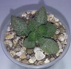 405 Adromischus marianae herrerii green, горшок 5,5 см, цена 250 грн