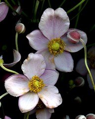 59387.03 Anemone hupehensis (horticultural art) Tags: anemonehupehensis anemone flowers botanical buds perennial