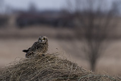 (The Transit Photographer) Tags: birds raptors owls shortearedowls dinner wolfeisland