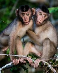 Young Buddies (iamfisheye) Tags: 300mm abaijunglelodge kinabatanganriver nikon f4 primate d500 borneoapril2018 pigtailedmacaque monkey pf shorttailed animal