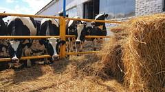 Agriculture (Live blog by Denis Snetkov) Tags: agriculture field harvest russia moscowregion cereals horizon sky bluesky grass cows farm tractor milk сельскоехозяйство поле урожай россия подмосковье злаки горизонт небо голубоенебо трава коровы ферма трактор молоко