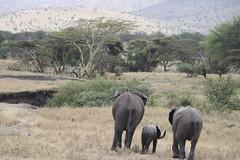 Elephant Family Walking Off (earthandmain) Tags: family endangered endangeredspecies africa wildlife kenya tanzania safari savetheelephant saveourplanet