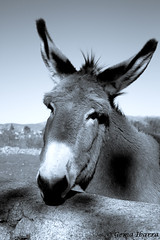 Donkey in the field. Species in extinction (GemaIbarra1) Tags: donkey animal funny brown field nature cute head looking portrait domestic donkeys farm summer grass view agriculture rural mammal pasture face fun travel young countryside farming animals mule herbivorous