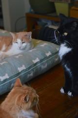 Jimmy and Batman at attention, Otis in command (rootcrop54) Tags: jimmy orange ginger tabby male otis dilute batman black white tuxedo polydactyl neko macska kedi 猫 kočka kissa γάτα köttur kucing gatto 고양이 kaķis katė katt katze katzen kot кошка mačka gatos maček kitteh chat ネコ