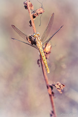 """""""L'éclat de lumière"""" (regisfiacre) Tags: orthetrum brunneum brun braun brown libellule libellula libelle dragonfly damselfly odonate odonata insect insecte insekt bug bugs ailes wings nature sauvage wild wildlife macro macrophoto macrophotography macrophotographie canon 5div mark iv 4 plein format full frame sigma 150mm apo ex dg os hsm moselle france summer eté sommer"""