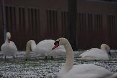 Zwanen 24.1.19 (2) (rspeur) Tags: almere thenetherlands birds winter