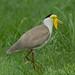 Masked Lapwing (aka Plover) - Nitmiluk National Park (Katherine Gorge) - Northern Territory, Australia