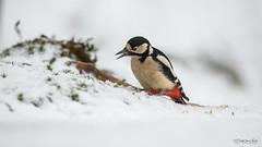 Great Spotted Woodpecker (Gertj123) Tags: woodpecker wildlife winter snow bokeh animal avian arjantroost holterberg hide canon