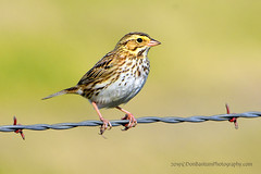 "Savannah-Sparrow._03 (DonBantumPhotography.com) Tags: wildlife nature birds animals savannahsparrow sparrow ""donbantumphotographycom"" ""donbantumcom"""