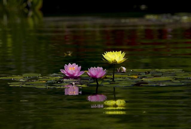 Обои листья, вода, цветы, природа, озеро, пруд, отражение, розовые, водяные лилии, водоем, зеленый фон, желтая, нимфея, водяная лилия, нимфеи картинки на рабочий стол, раздел цветы - скачать