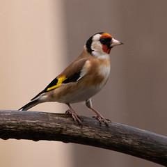 Gold Finch (PeskyMesky) Tags: goldfinch europeangoldfinch bird nature birdwatching springwatch aberdeen scotland