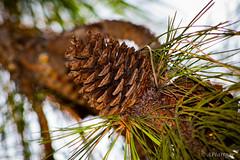 Piña de Pino 🌲 (pocket.photographs1) Tags: tree trees arbol coyhaique chile green surdechile patagonia