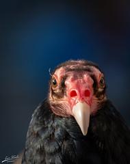 Portrait of a Vulture (Eric Steele Photography) Tags: buzzard vulture oregon zoo portland purple portrait wildlife bird blue crisp
