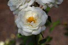 Ards Beauty   Meopta Openar  80mm  F 2.8 (情事針寸II) Tags: クローズアップ 自然 花 薔薇園 薔薇 light cmountlens closeup bokeh nature fleur flower rosegarden rose kasteelcoloma meoptaopenar80mmf28