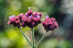 FIDO0122 (Friedhelm Dötsch) Tags: blümkes gruga blumen essen deutschland flowers germany