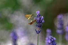 This is our moment (Paul Wrights Reserved) Tags: butterfly butterflies butterflyinflight skipper skipperbutterfly mating nature wildlife bokeh flower botanical colour colours colourful vibrant insect insects macro macrophotography