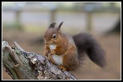 IMG_0036 Red Squirrel (Scotchjohnnie) Tags: redsquirrel sciurusvulgaris squirrel squirrelphotography wildlife wildanimal wildlifephotography wildandfree nature naturephotography mammal rodent canon canoneos canon7dmkii canonef100400f4556lisiiusm scotchjohnnie closeup