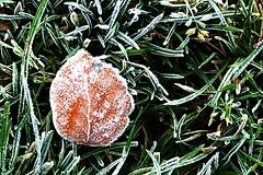 Frostig heut' (Frau D. aus D.) Tags: grün gras delmenhorst frosty cold fall autumn herbst winter raureif frost blatt leaf