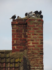 Pouting & Pointing (Glass Horse 2017) Tags: chimney pointing cement bricks birds pigeons redcar cleveland tiles rooftiles prettypigeons blackandwhite